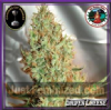 Big Buddha Silver Cheese Female 10 Cannabis Seeds